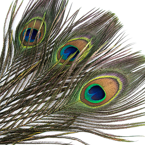 Indian Peacock Eye